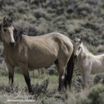 "Wild Horse Alert: Wild Horses and Burros in Danger from ""Stewart Amendment"""