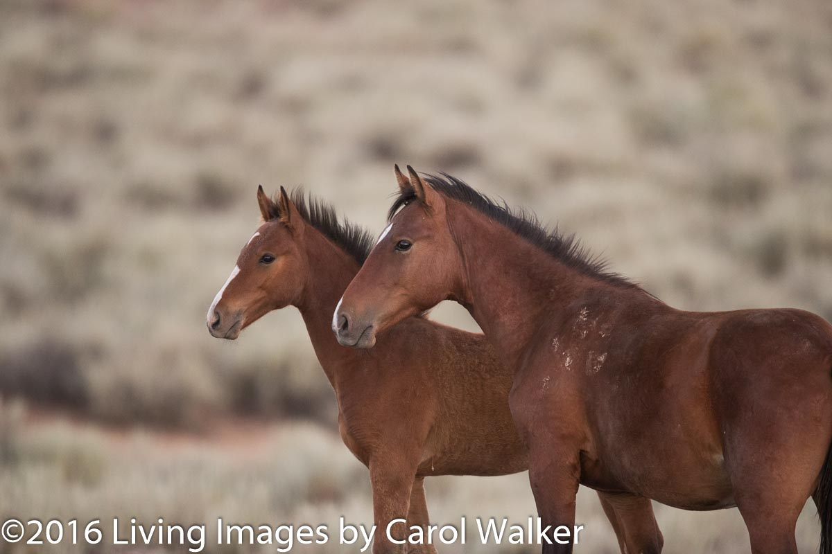 Will these two South Steens Fillies be in the experiment?