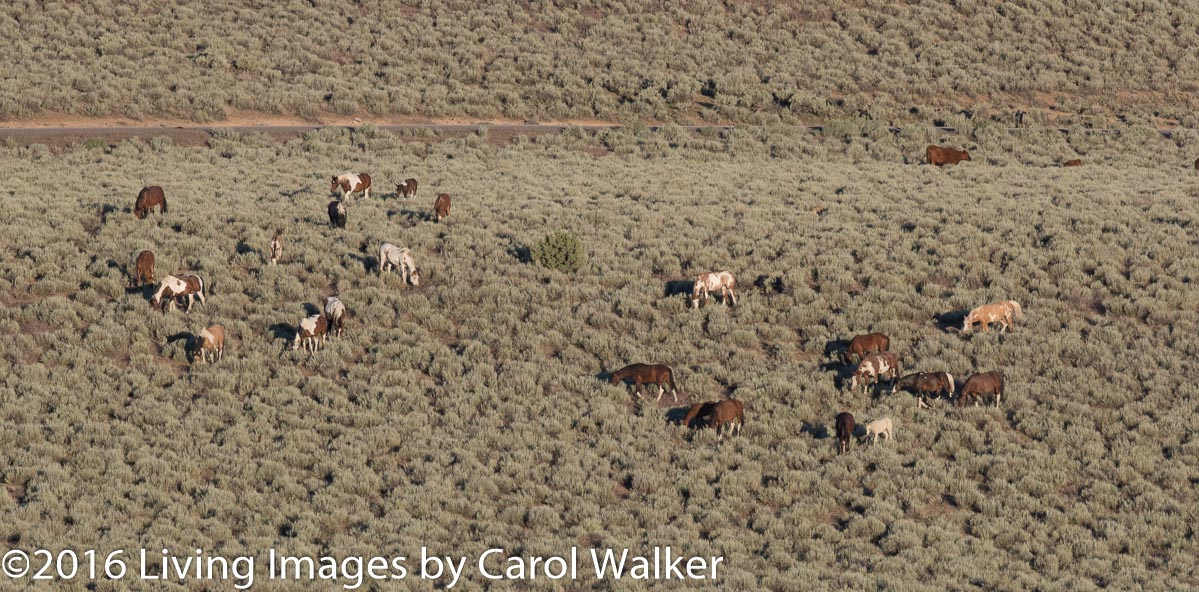 Peacefully grazing in the early morning in South Steens