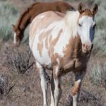 Gruesome Wild Mare Sterilization Experiments by BLM & Oregon State University Begin Next Month