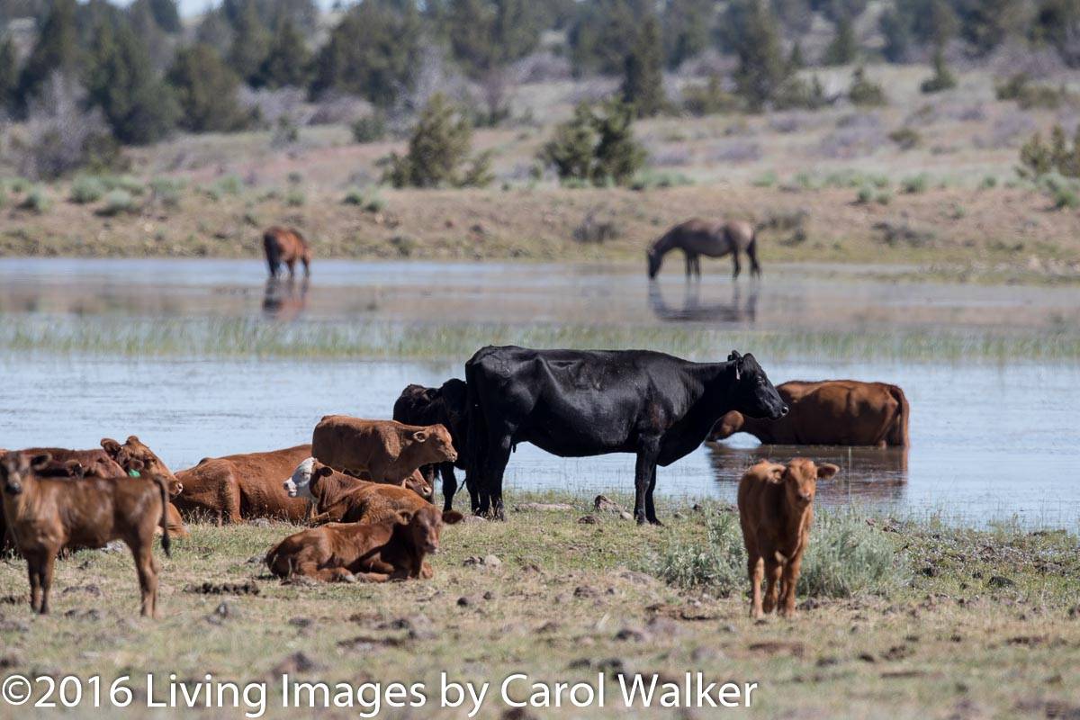 Cattle at South Steens