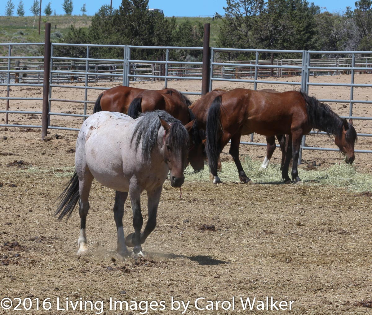 Pregnant mare - will she be in the experiment?