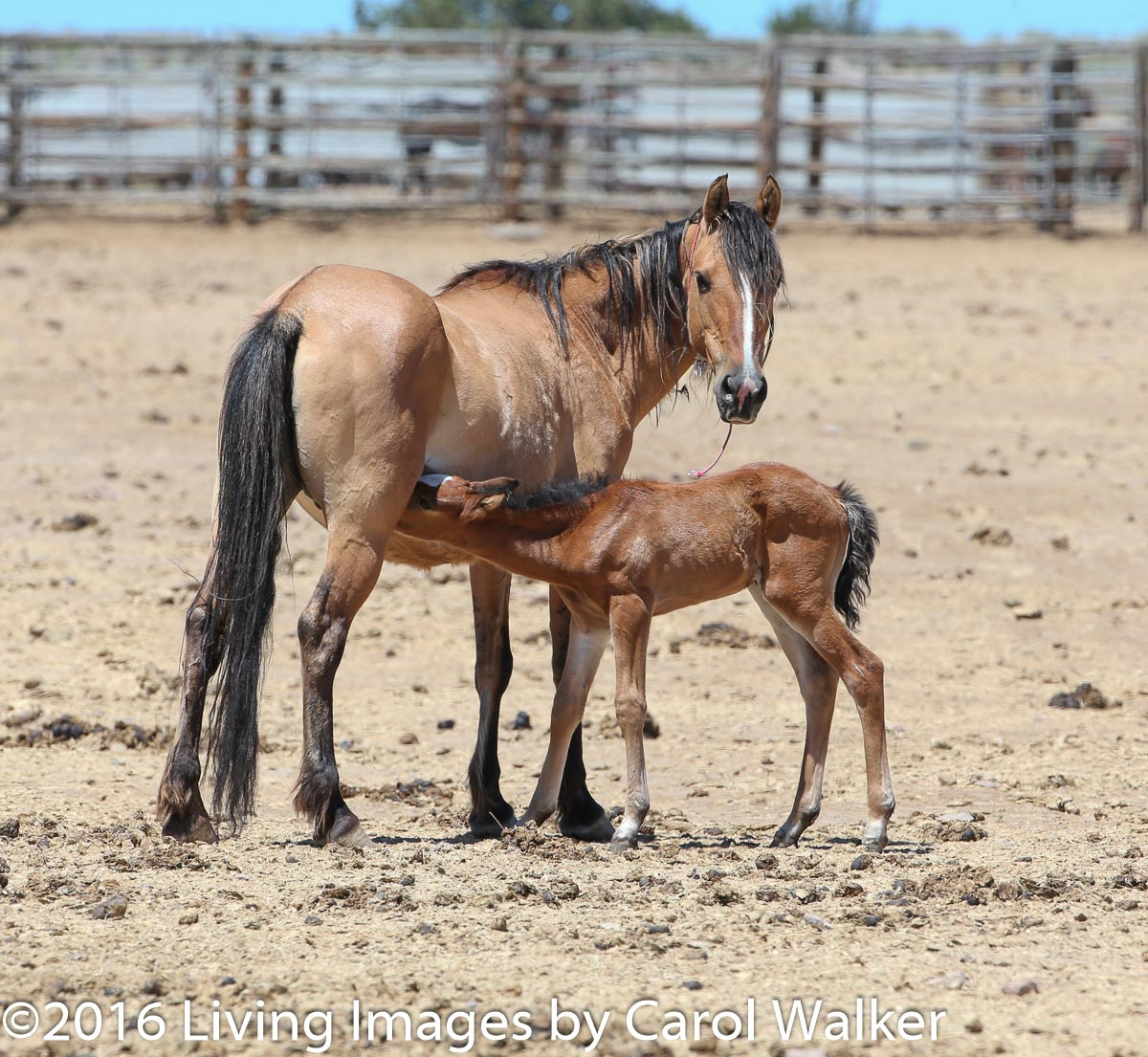 Mare and foal at the Hines facility