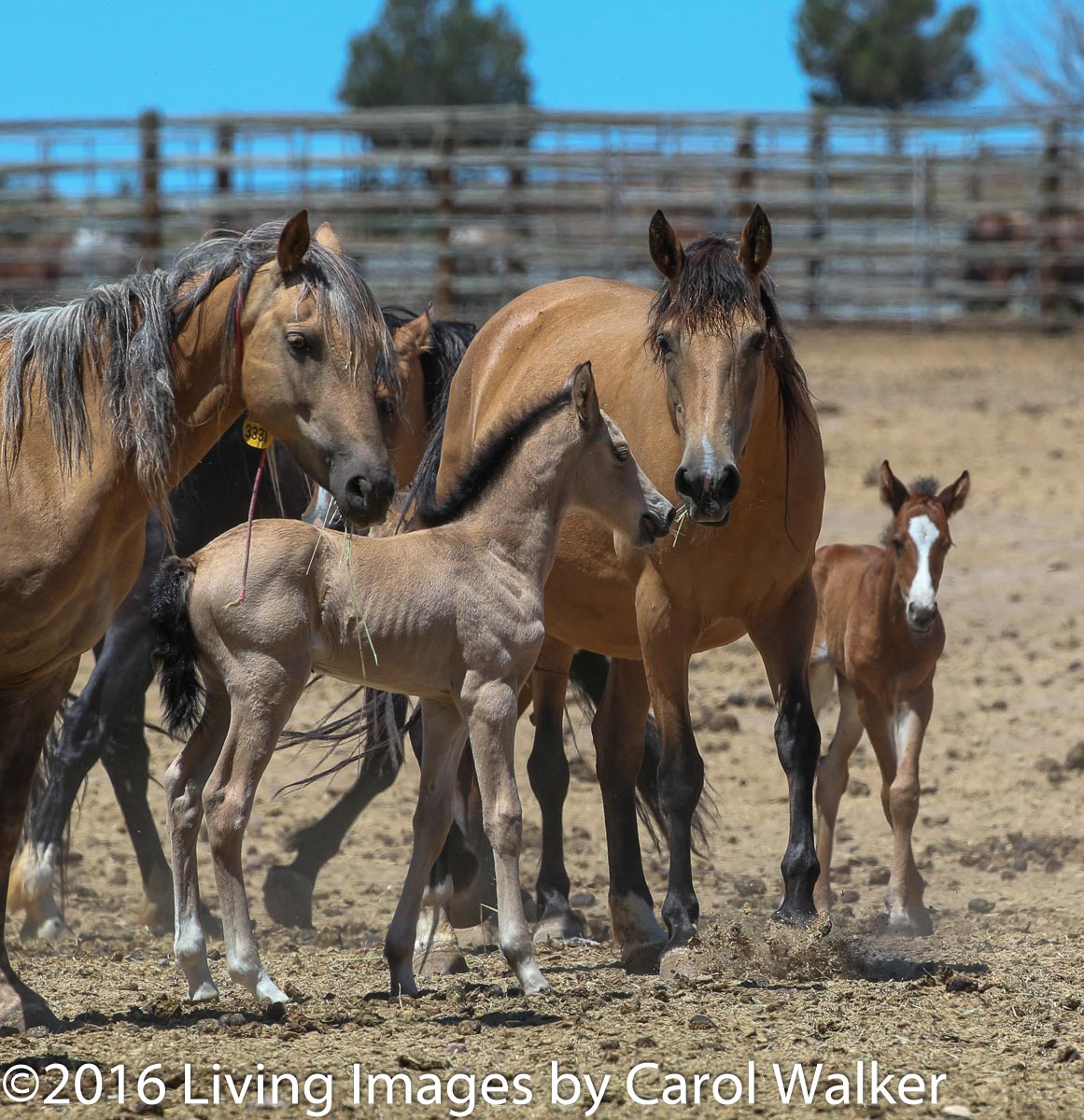 Mares and foals at the Hines facility