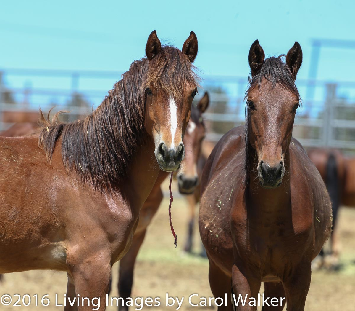 Fillies who would still be with their mothers