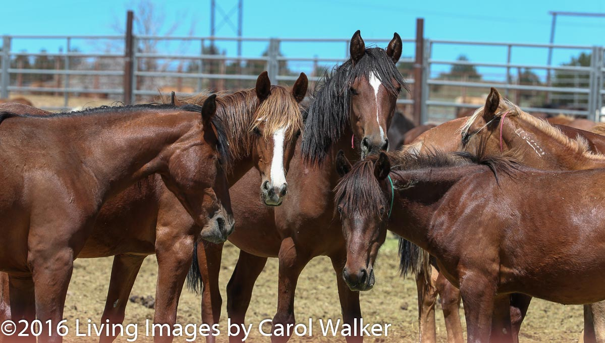 Fillies - will they have the laser ablation procedure?