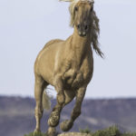 Wild Horses – Please Comment on the BLM's Long Term Plans for and Removals of Wild Horses at Sand Wash Basin