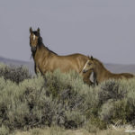 Please Comment on the BLM's Upcoming Checkerboard II Wild Horse Wipeout Plan