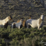 Wild Horses: New Lawsuit to Stop Checkerboard II Wild Horse Roundup