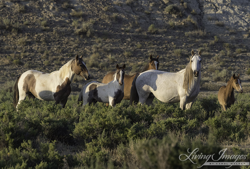 Wild Horse Family in the Checkerboard in Wyoming