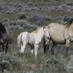Equine Advocates and Animal Welfare Groups Challenge Adobe Town Wild Mare Experimentation