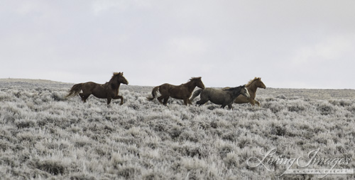 The family band running toward the mare, stallion in the rear