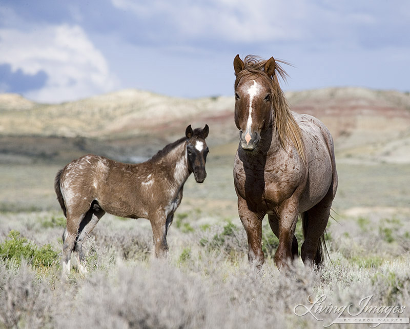 The last time I saw the Red Roan Stallion, with his son in 2005