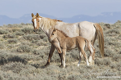A wild horse in the Adobe Town Herd Area in Wyoming