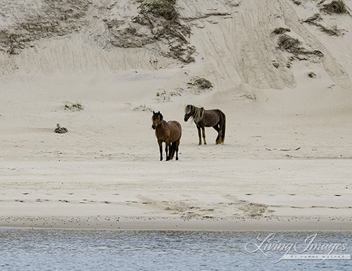 Two stallions on the beach