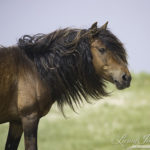 Sable Island Wild Horses – A Ray of Hope for Wild Horses