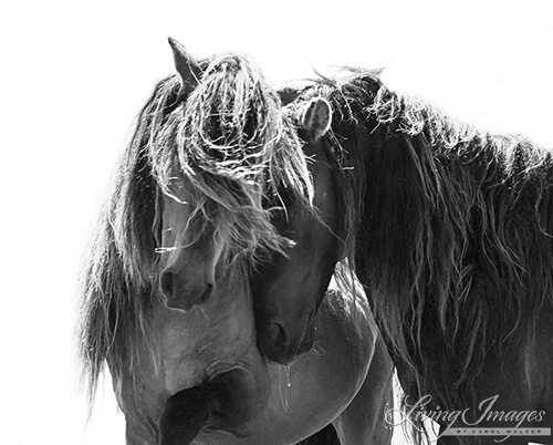 The two stallions together