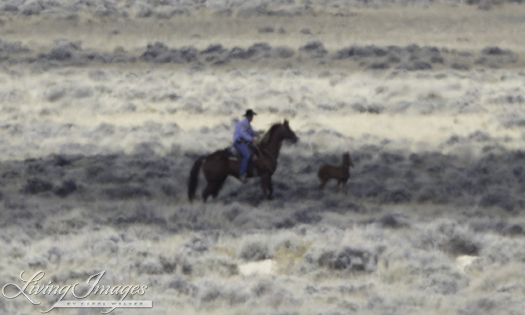 The rider ropes the foal