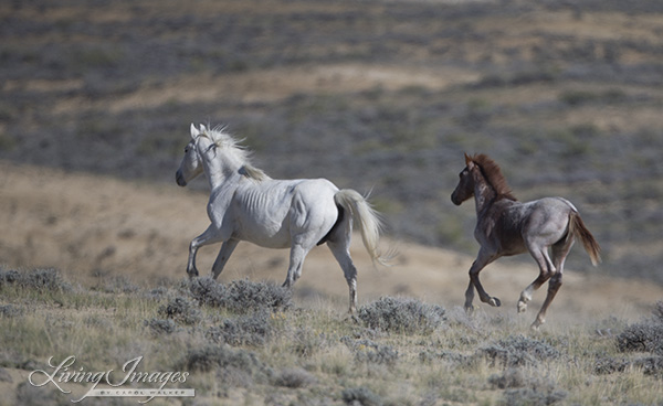 The grey mare and foal run away
