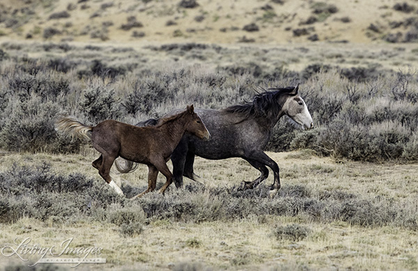 The grey mare and foal run