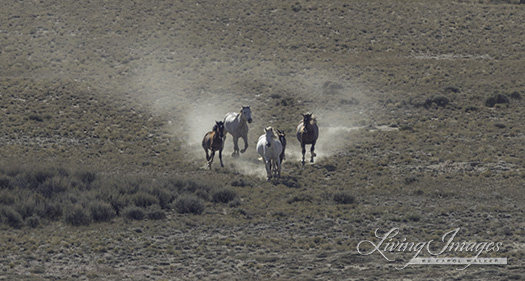 Dust boils up from the running wild horses