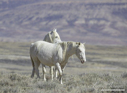Mare and stallion, clearly longtime companions