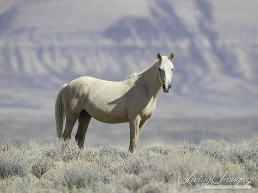 The curious palomino yearling