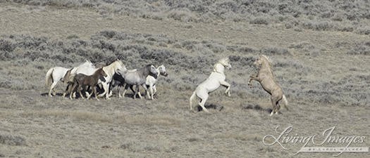 The palomino and cremello stallions rearing up to fight