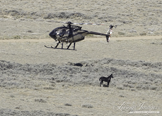 The helicopter keeping the foal in place