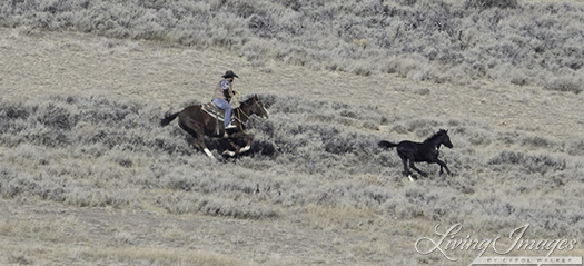 The rider chasing the foal to catch him
