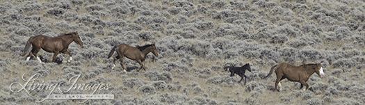 The little black foal trying to keep up with mom