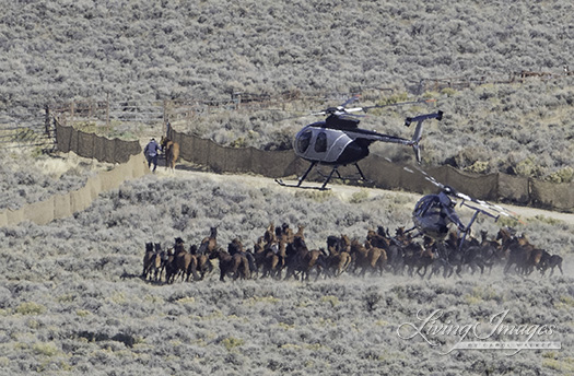 Two helicopters behind the huge group of horses