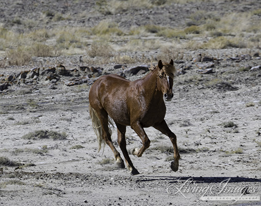 The red stallion who escaped the helicopter
