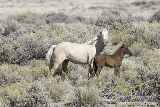 The palomino mare and foal pause for a minute
