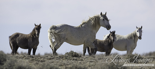 A grey stallion and his family