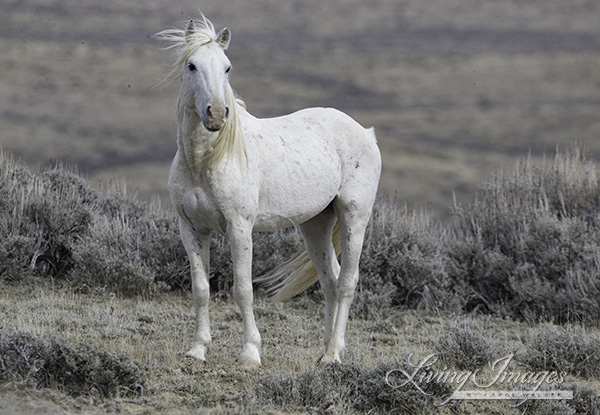 The lonely grey stallion