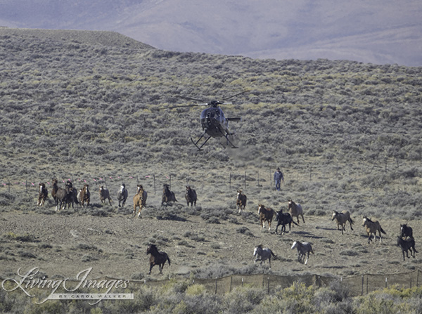 Big groups of horses coming in
