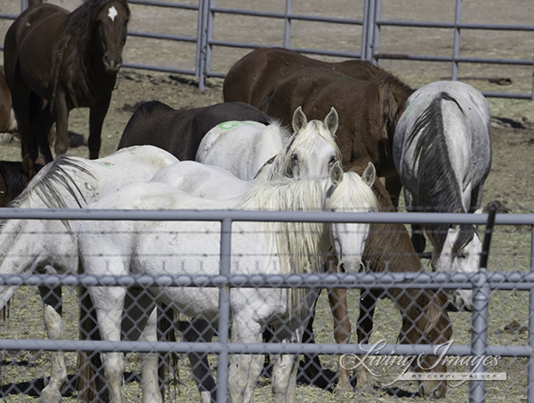 Older mares at Rock Springs corrals