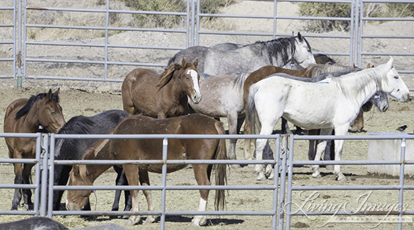 Mares at Rock Springs