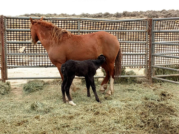 Curly mare and foal reunited at temporary holding, photo courtesy of Jason Lutterman