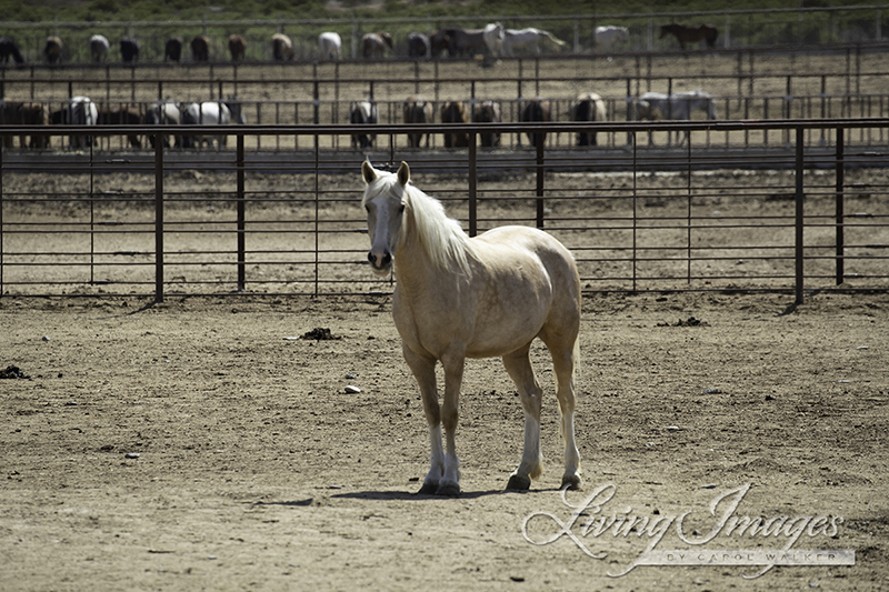Visiting the Checkerboard Mares and Foals at the Bleak Feedlot at