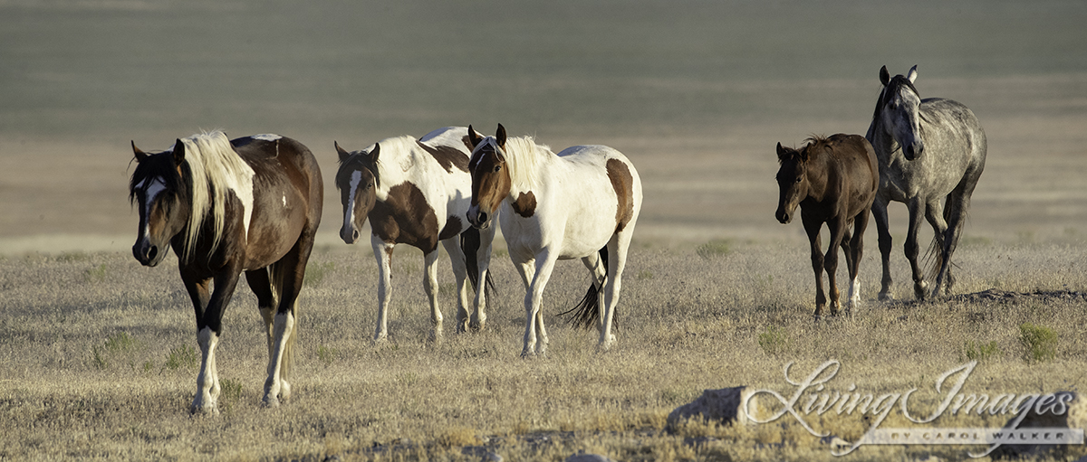 BLM Announces Plans to Destroy the Onaqui Mountain Wild Horse Herd in 2019 - Wild Hoofbeats