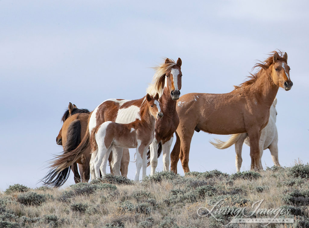 Despite The Pandemic The Bureau Of Land Management Will Continue Wiping Out The Wild Horses In The Red Desert Complex Of Wyoming Wild Hoofbeats