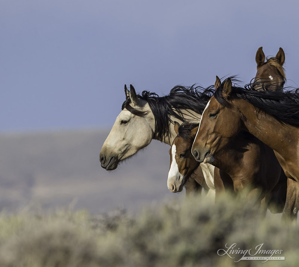 Wild Horses – Research and Education | Mary Ann Simonds