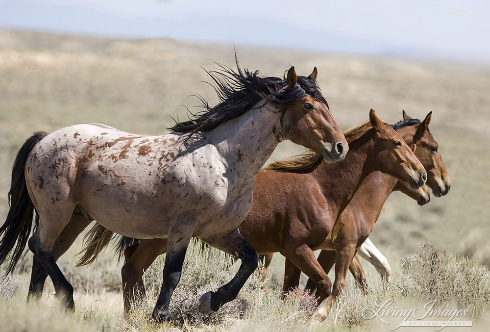 Wild Horses Are EXTINCT Says New DNA Study Which Has ...